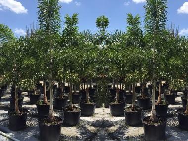 Foxtails Palms 25gallon Pots