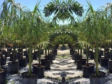 Royal Palm 25 Gallon Pots Date Palms Nursery Llc