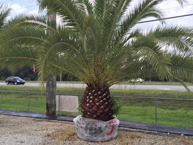 canary date palm 280x285