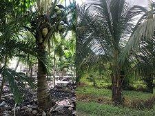 coconuts Palm 225x168