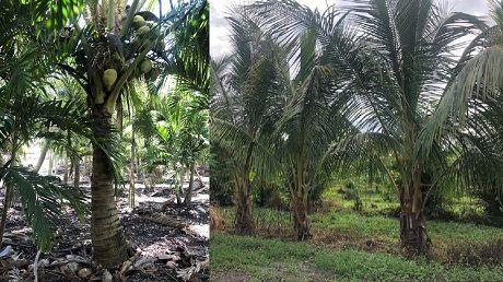 coconut palm 460x258