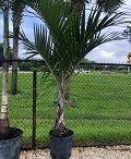 spindle Palm 120x146